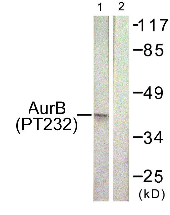 ARK-2 (phospho Thr232)