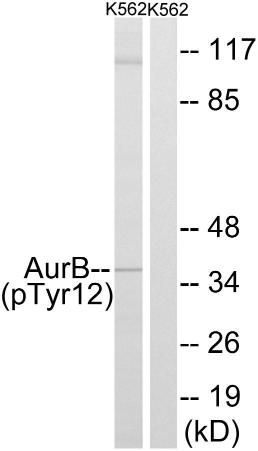ARK-2 (phospho Tyr12) Polyclonal