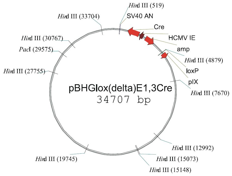 pBHGloxdelE1,3cre